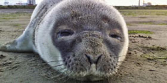 Sad fate of Sandymount Seal