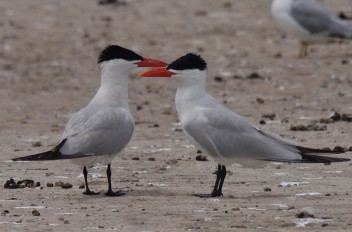 Arctic Terns in Dublin Bay