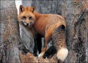 City-Fox1
