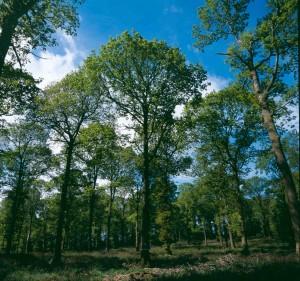 Forest2 - oak