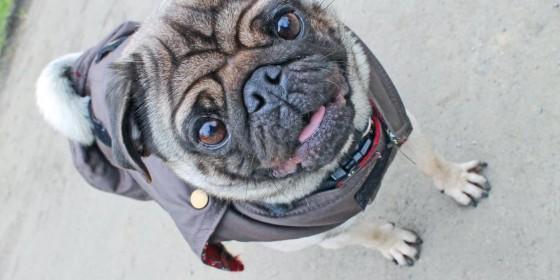 Pug Life in Herbert Park