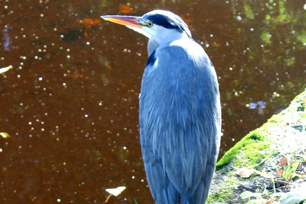 Heron on the Dodder Pic: NewsFour's Ross Waldron