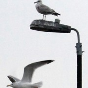 Gull Cull