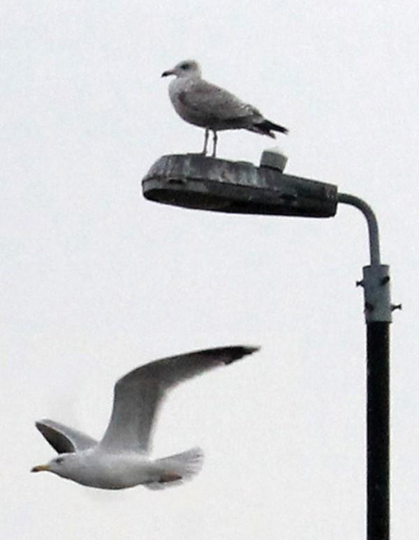 seagull3 pg 29