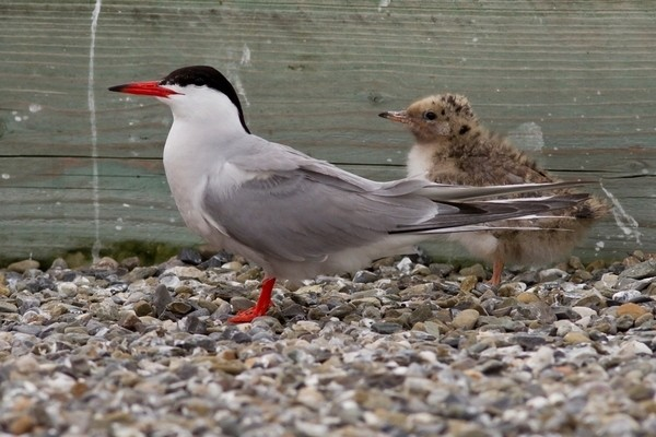 Dublin Port Tern Colony Management Plan