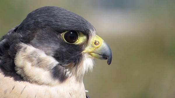 Pictured Above: The Peregrine Falcon.