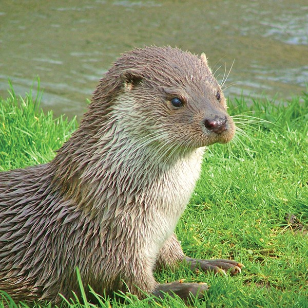 Pictured Above: An Otter.