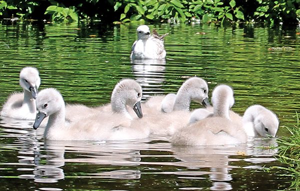 Pictured: The emerging life of young cygnets in Herbert Park.