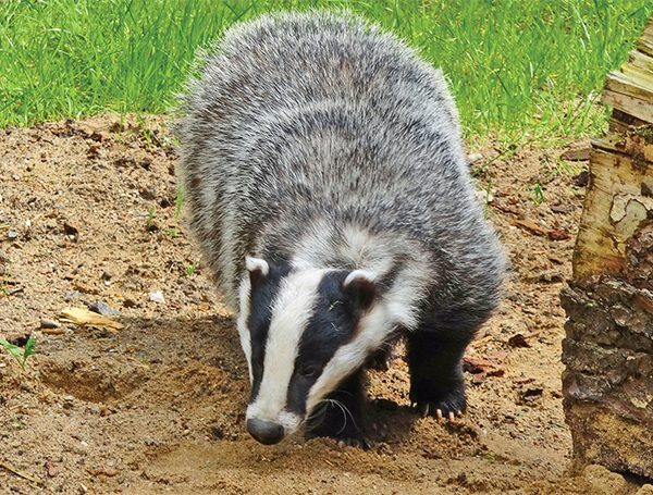 Above: Council housing for badgers?