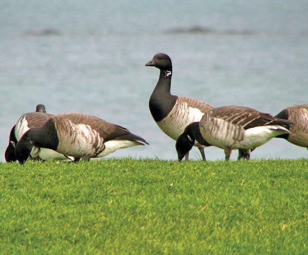 Pictured: Brent Geese. Photo copyright Rossographer