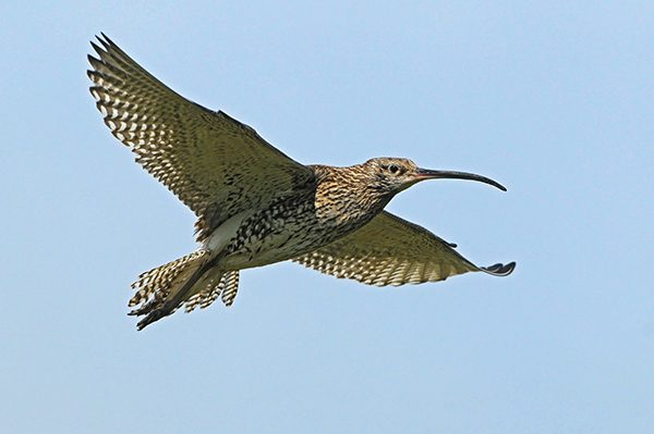 Pictured: Curlew. Photo Colum Clarke.
