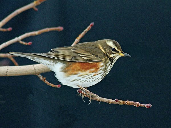 Pictured: Redwing. Photo Dick Coombes.