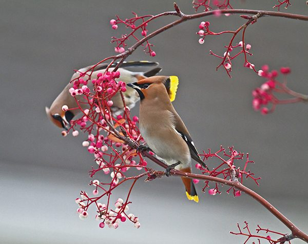 Pictured: Waxwings. Photo Shay Connolly.