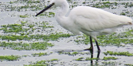 The Little Egret - The Snowy White Heron
