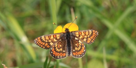 EU protected Irish rare butterfly under threat-Help required