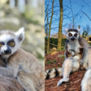 Name Mr Tayto's baby lemurs!